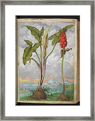 Arum Italicum Framed Print