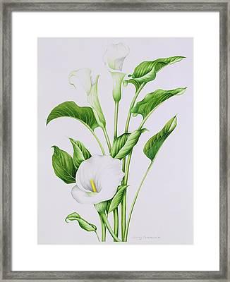 Arum Lily Framed Print