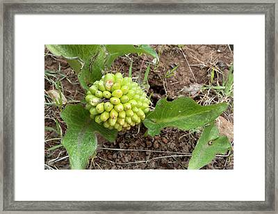 Arum Pictum Fruiting Framed Print by Bob Gibbons