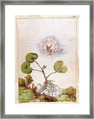 Asarum Europaeum Plant Framed Print
