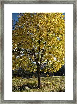 Ash (fraxinus Excelsior) Tree In Autumn Framed Print by Bob Gibbons
