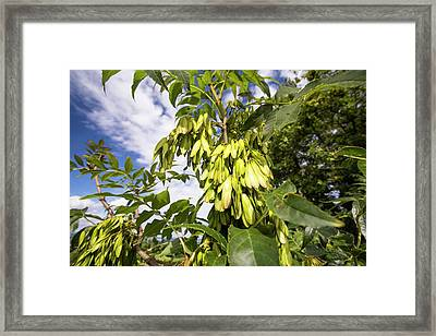 Ash Keys On An Ash Tree Framed Print