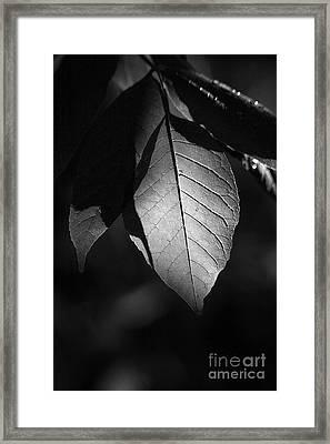Ash Leaf Framed Print