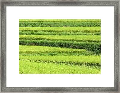 Asia, Japan Rice Terraces In Nara Framed Print