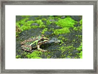 Asian Bullfrog Framed Print by K Jayaram