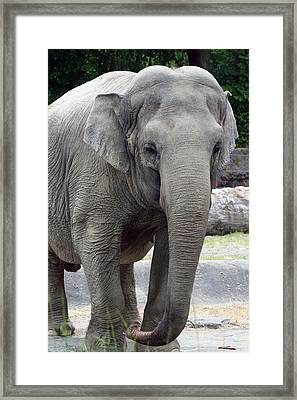 Framed Print featuring the photograph Asian Elephant by Bob Noble Photography