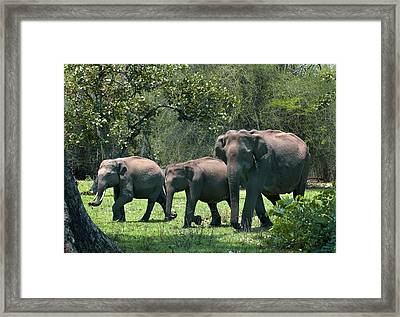 Asian Elephant Group Framed Print by K Jayaram