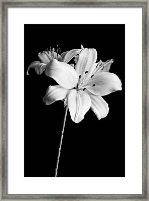 Asian Lilies 2 Framed Print by Sebastian Musial