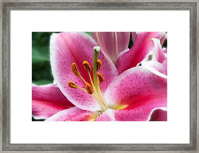 Asian Lily Framed Print