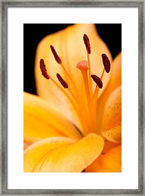 Asian Lily Framed Print by Sebastian Musial