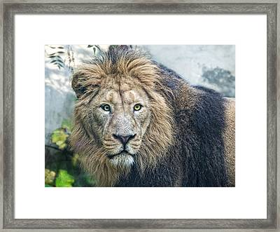 Asian Lion Framed Print by Joachim G Pinkawa