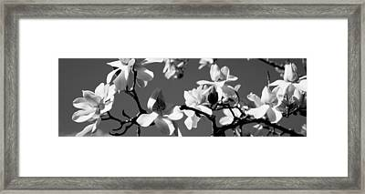 Asian Magnolia Blossoms Ca Framed Print by Panoramic Images