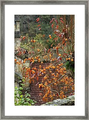 Asian Persimmon (diospyros Kaki) In Fruit Framed Print