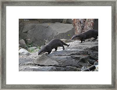 Asian Small Clawed Otter - National Zoo - 01132 Framed Print by DC Photographer
