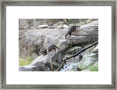 Asian Small Clawed Otter - National Zoo - 01133 Framed Print