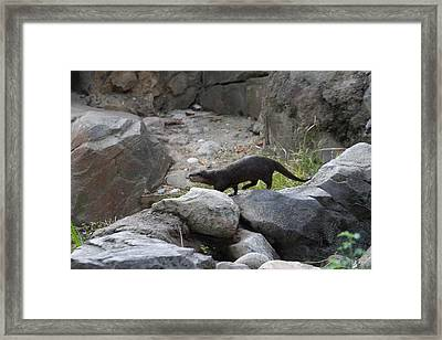 Asian Small Clawed Otter - National Zoo - 01134 Framed Print