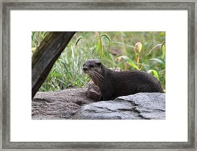 Asian Small Clawed Otter - National Zoo - 01137 Framed Print