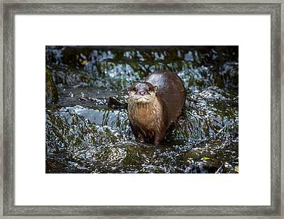 Asian Small-clawed Otter Framed Print by Paul Williams