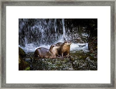 Asian Small-clawed Otters Framed Print by Paul Williams