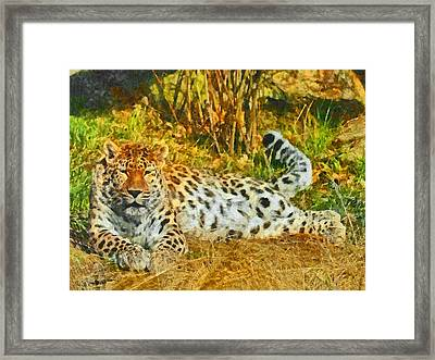 Asian Snow Leopard Framed Print by Digital Photographic Arts