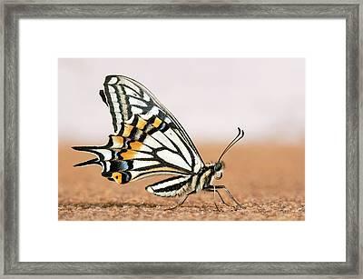 Asian Swallowtail Butterfly Framed Print