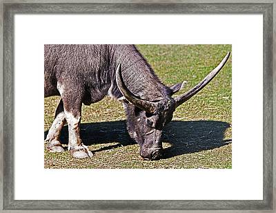 Asian Water Buffalo  Framed Print