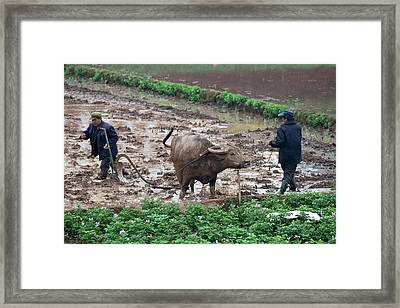 Asian Water Buffalo Used In Agriculture Framed Print by Tony Camacho