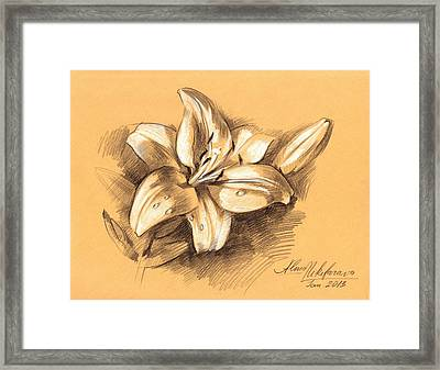 Asiatic Lily Flower With Bud Sketch Framed Print