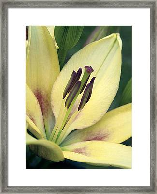 Asiatic Lily (lilium Sp.) Framed Print