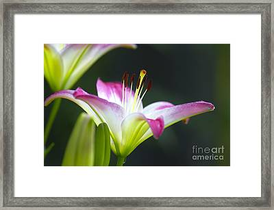 Asiatic Lily Lollipop 2 Framed Print