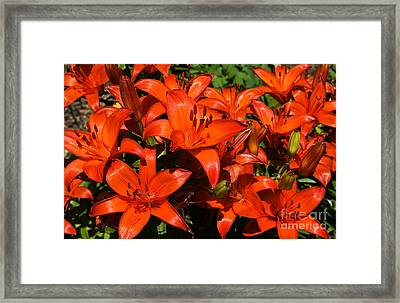 Framed Print featuring the photograph Asiatic Lily by Sue Smith