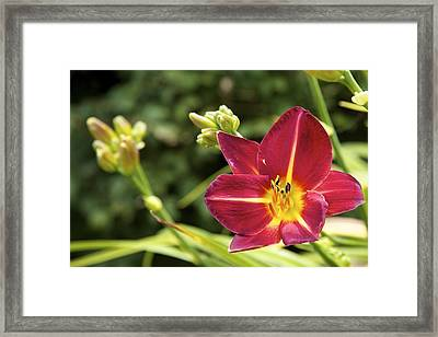 Asiatic Lily  Framed Print by Terry Horstman