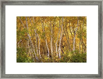 Aspen Glow Framed Print