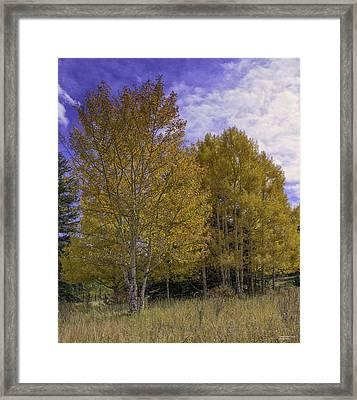 Aspen Goldrush Framed Print by Tom Wilbert
