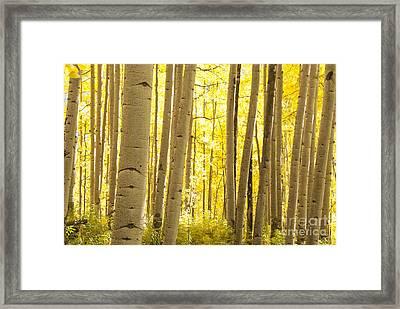 Aspen Grove In Autumn Framed Print by Juli Scalzi