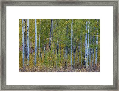 Aspen In Autumn Grand Teton National Framed Print by Tom Norring