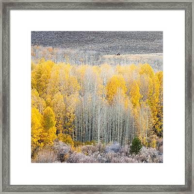 Aspen In Eastern Sierra's  Framed Print