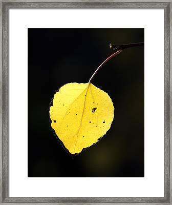 Aspen Leaf  In Fall Framed Print by Gary Langley