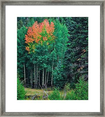 Aspen-orange Before Yellow Framed Print by Larry Bodinson