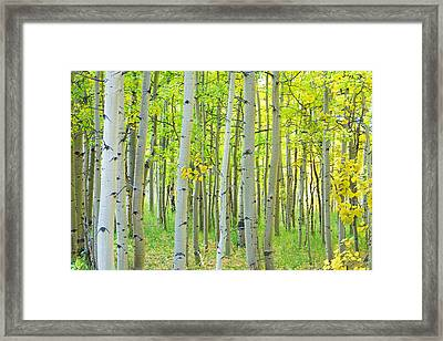 Aspen Tree Forest Autumn Time  Framed Print by James BO  Insogna