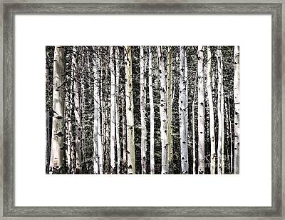 Aspen Tree Trunks Framed Print by Elena Elisseeva