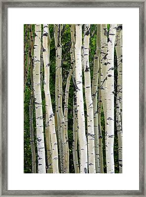 Aspen Tree Trunks, Healy, Alaska, Usa Framed Print by Michel Hersen