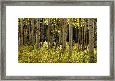 Aspen Trees All In A Row Framed Print