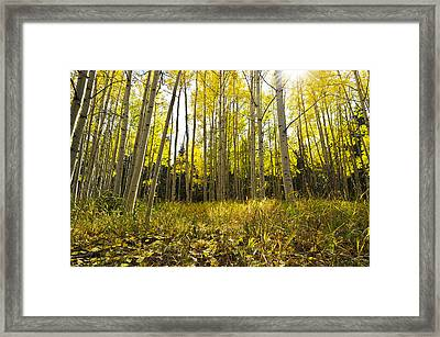 Aspen Trees Colorado Framed Print