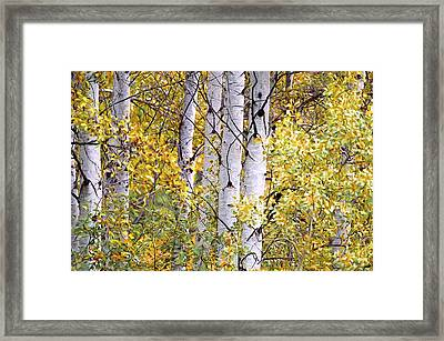Aspen Trees Digital Artwork Framed Print by Sharon Talson
