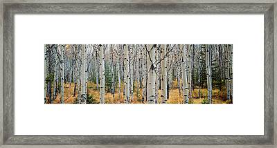 Aspen Trees In A Forest, Alberta, Canada Framed Print