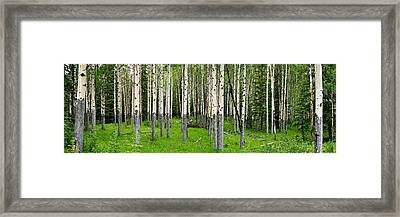 Aspen Trees In A Forest, Banff, Banff Framed Print