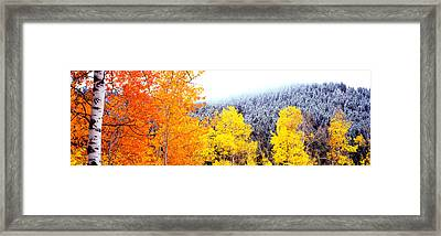 Aspen Trees In A Forest, Blacktail Framed Print by Panoramic Images