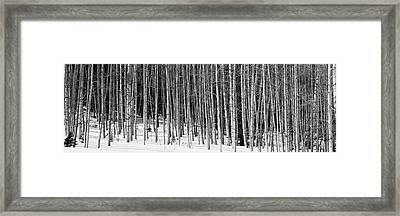 Aspen Trees In A Forest, Chama, New Framed Print