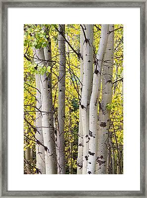 Aspen Trees In Autumn Color Portrait View Framed Print